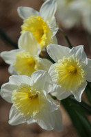 Mountain Daffodils